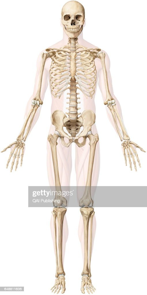 human bone structure diagram vw t1 wiring skeleton stock photos and pictures the is made up of 206 articulated bones varying sizes