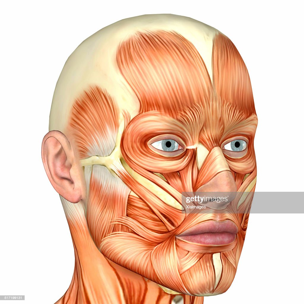 hight resolution of illustration of the anatomy of a male human face stock photo