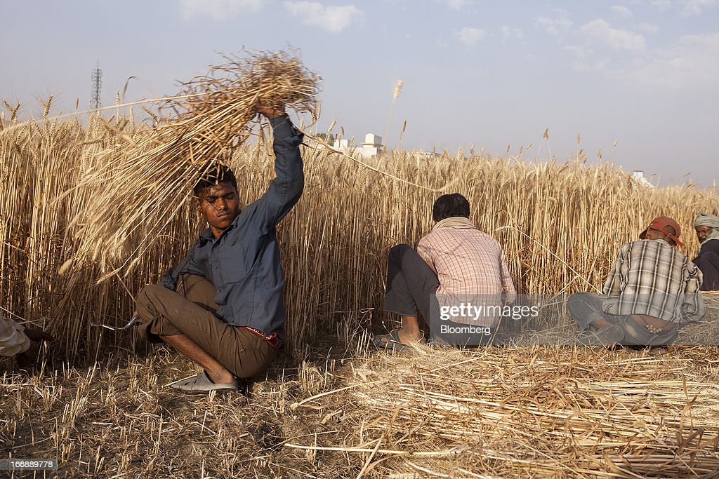 Laborers harvest wheat by hand in the district of ...