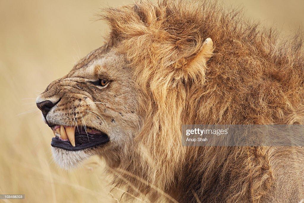 60 top angry lion