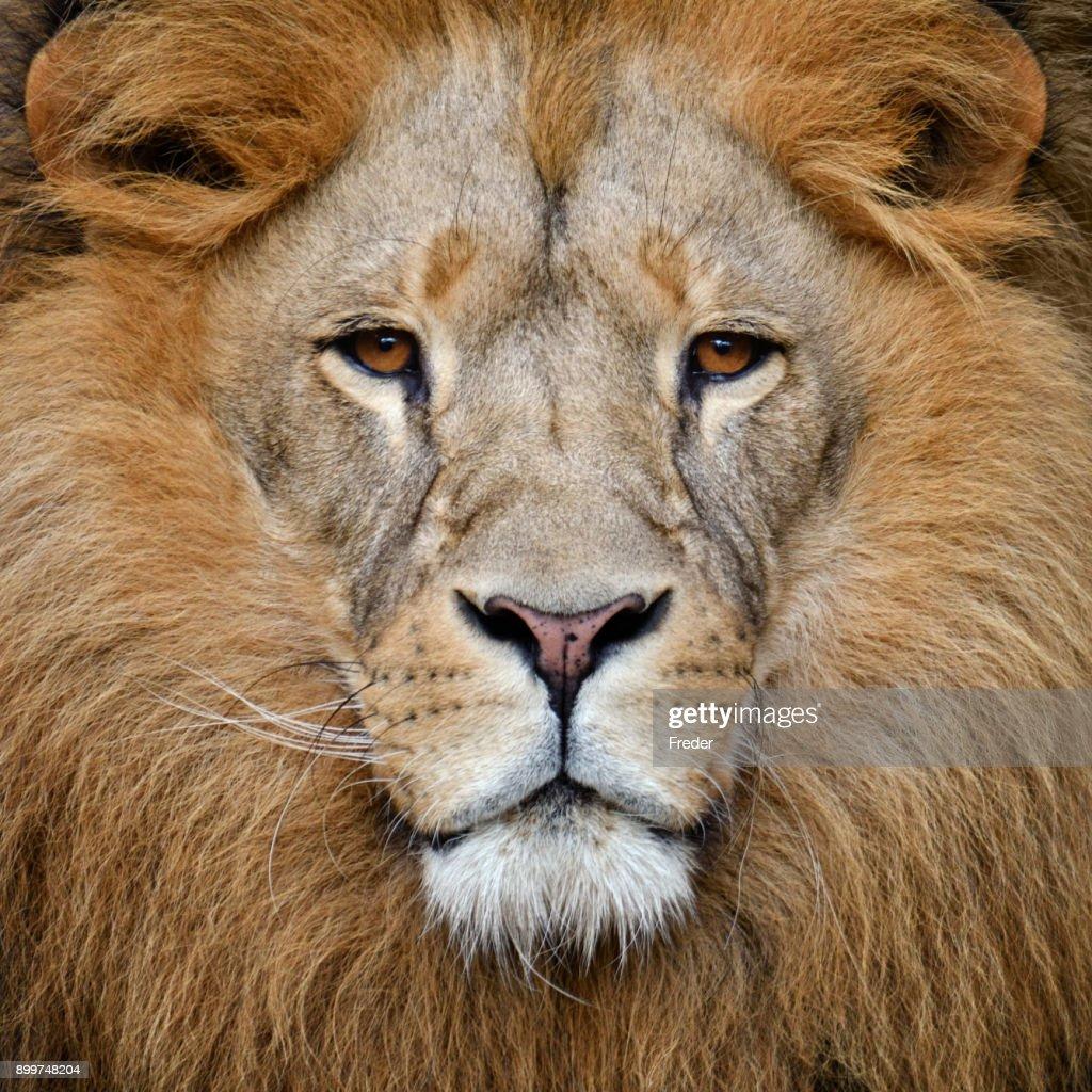 30 top lion face