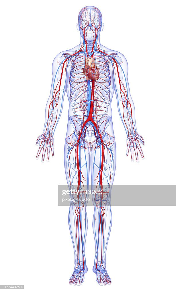 the anatomy of anxiety diagram cricket life cycle male full body circulatory system highlights heart stock photo | thinkstock