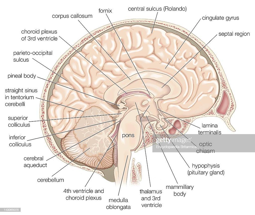 Anterior Cingulate Cortex Diagram