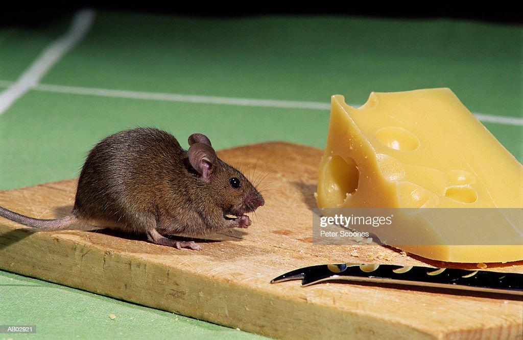 Mouse On Cutting Board Beside Wedge Of Swiss Cheese Stock Photo | Getty Images