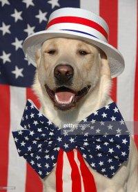 Patriotic Labrador Dog With Usa Costume Stock Photo ...