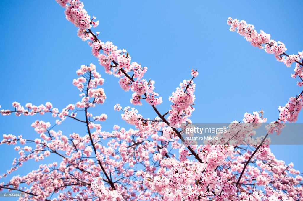 https www gettyimages fr photos cerisier japonais