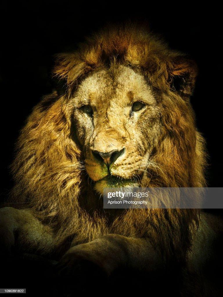 13 black lion wallpaper