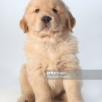 Portrait Of Six Week Old Golden Retriever Puppy High Res Stock Photo Getty Images