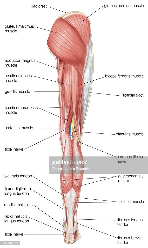 Posterior Hip Anatomy Tendons