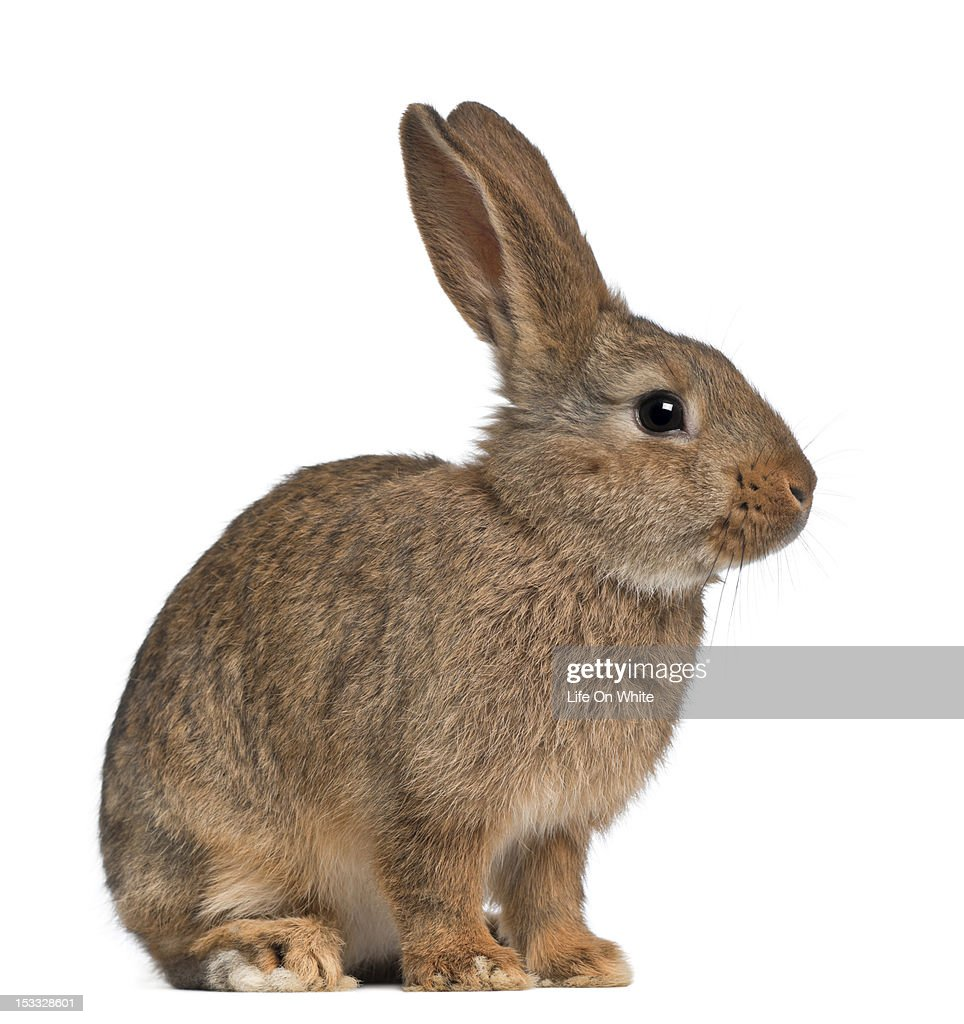 Rabbit Sitting Stock Photo  Getty Images