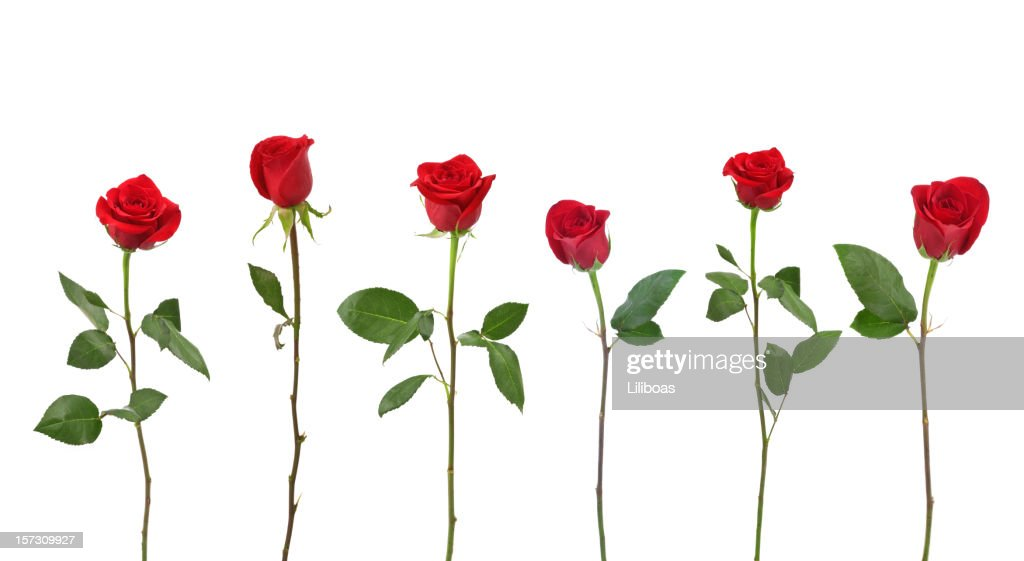 Rote Rosen Xxl StockFoto  Getty Images