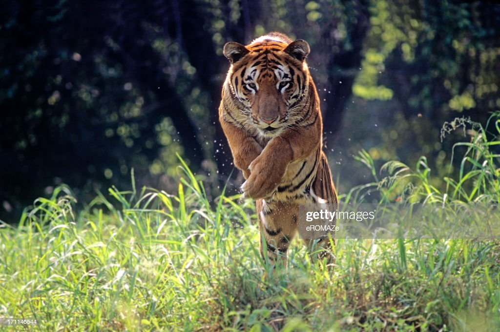 60 top tiger pictures