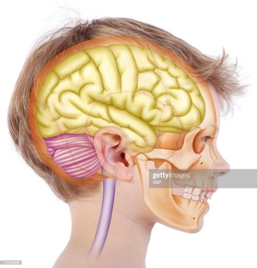 small resolution of skull in a 6 year old child representation in the face of a 6 year old