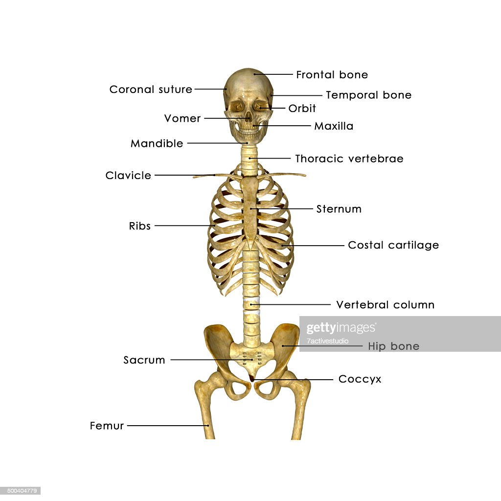 small resolution of hip bone diagram unlabeled trusted wiring diagrams the bones of skull worksheet skull bones diagram unlabeled