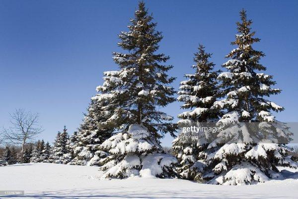 snow winter evergreen pine tree