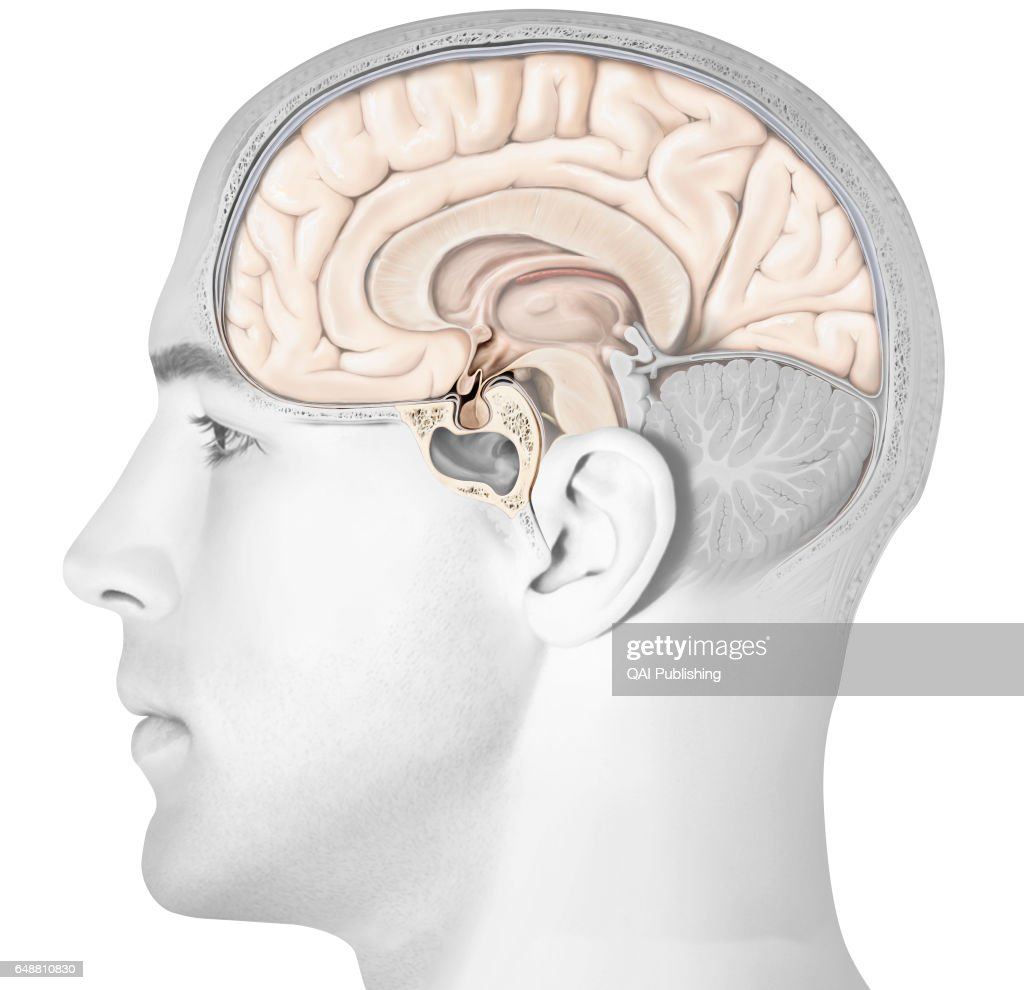 hight resolution of structure of the pituitary gland the pituitary gland consists of two lobes the adenopituitary and the
