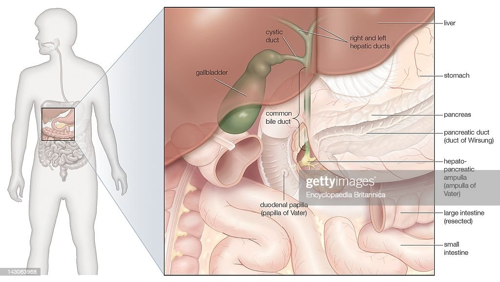 gallbladder location diagram datatool system 3 wiring gall bladder stock photos and pictures the bile ducts in situ
