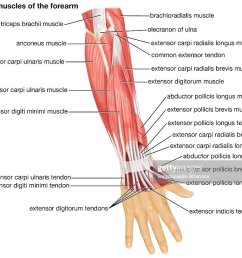 the posterior view of the muscles of the human forearm news photo [ 1024 x 813 Pixel ]