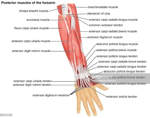 small resolution of the posterior view of the muscles of the human forearm news photo