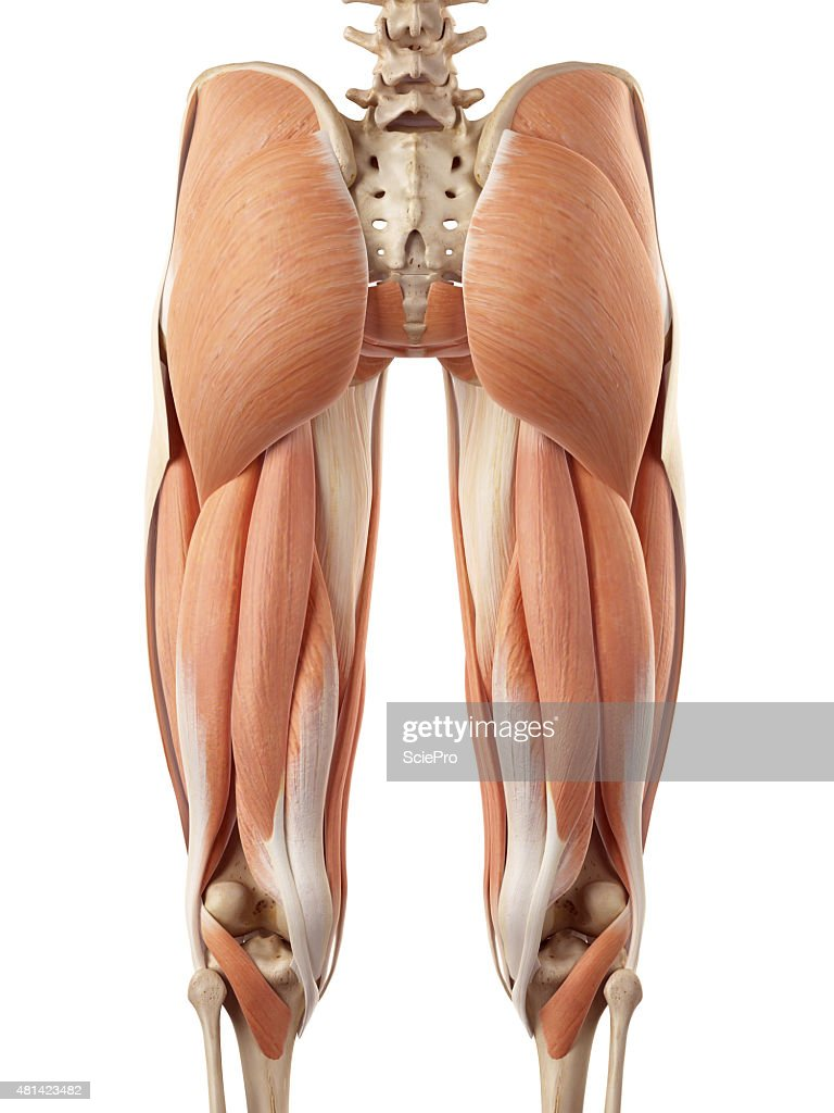 upper leg muscles diagram sahara desert food web the stock photo getty images