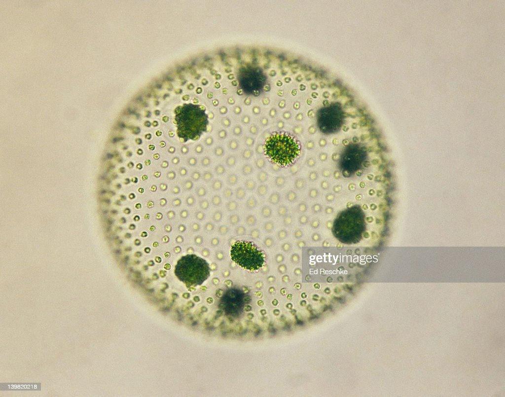 hight resolution of volvox colonial green alga with daughter colonies 100x at 35mm volvox sp