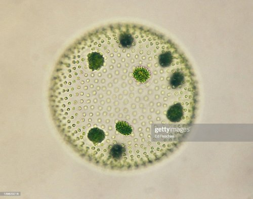 small resolution of volvox colonial green alga with daughter colonies 100x at 35mm volvox sp