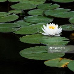 Lotus In Water Plant Diagram Wiring For Motorcycles Of Lily Online Labeled Block Schematic