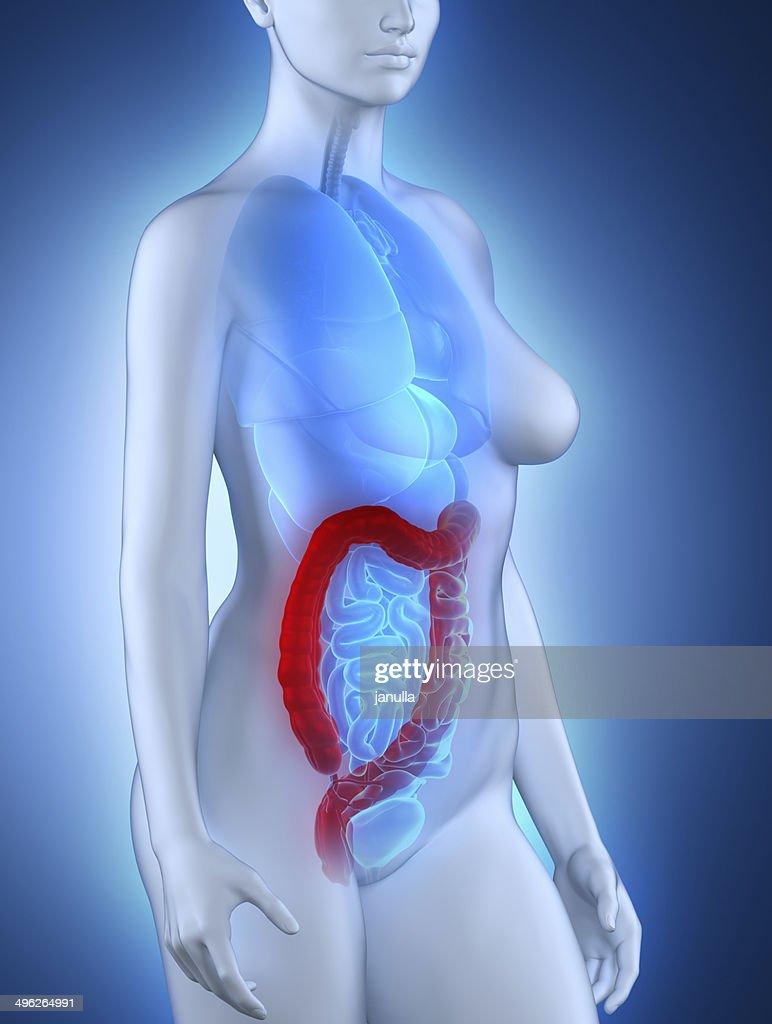 woman colon anatomy stock photo thinkstock rh thinkstockphotos com colon anatomy small intestine diagram [ 772 x 1024 Pixel ]