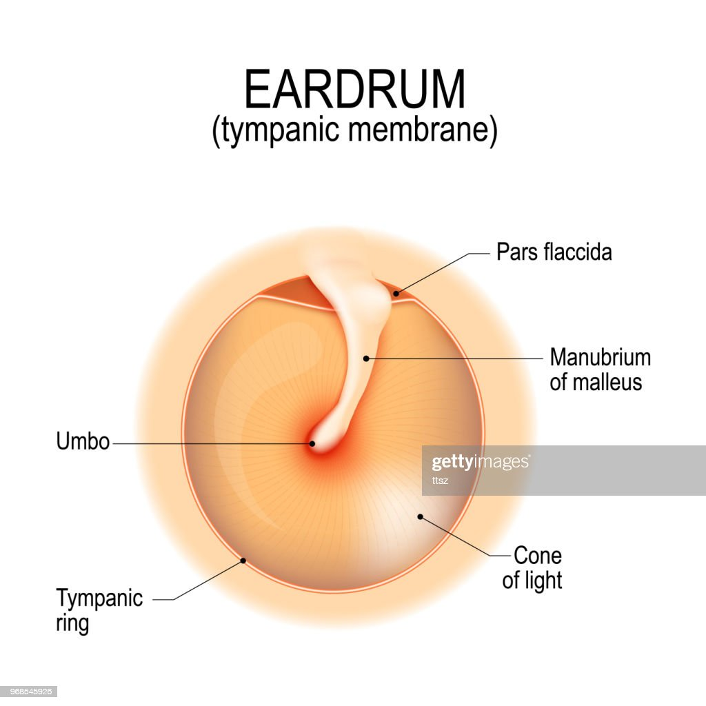medium resolution of anatomy of the eardrum stock vector thinkstock ear drum view ear drum diagram
