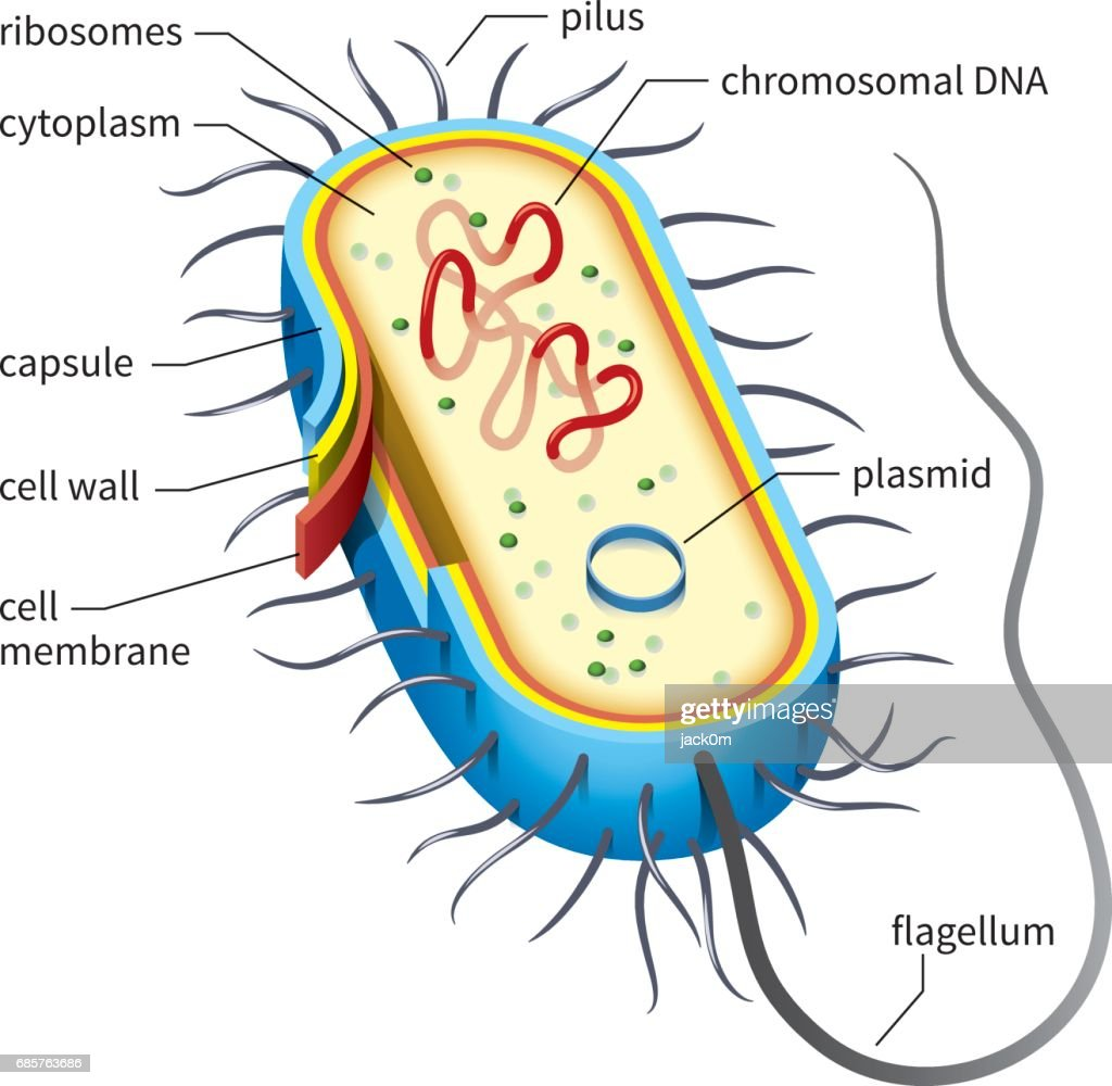 bacterial cell diagram and functions bmw z3 abs wiring vector art getty images