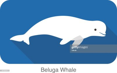 82 Beluga Whale High Res Illustrations Getty Images