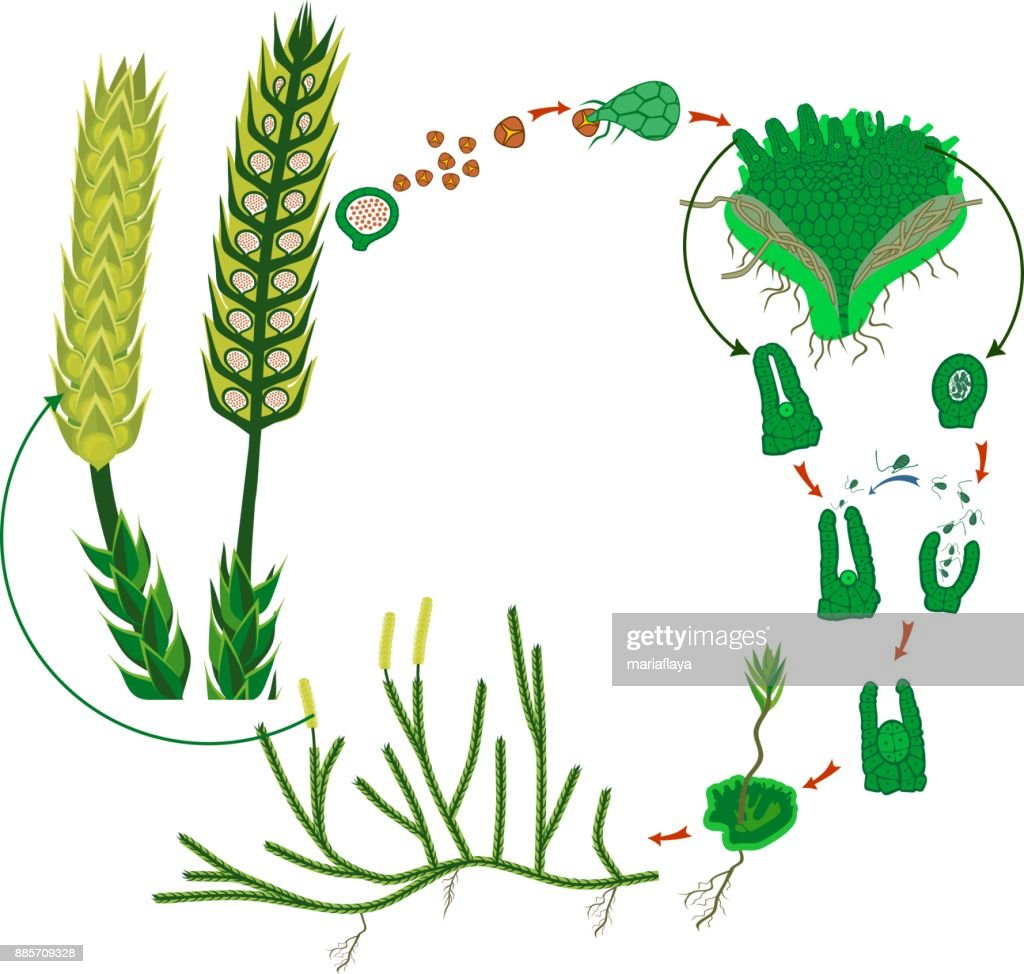 hight resolution of clubmoss life cycle diagram of a life cycle of lycopodium running clubmoss or lycopodium