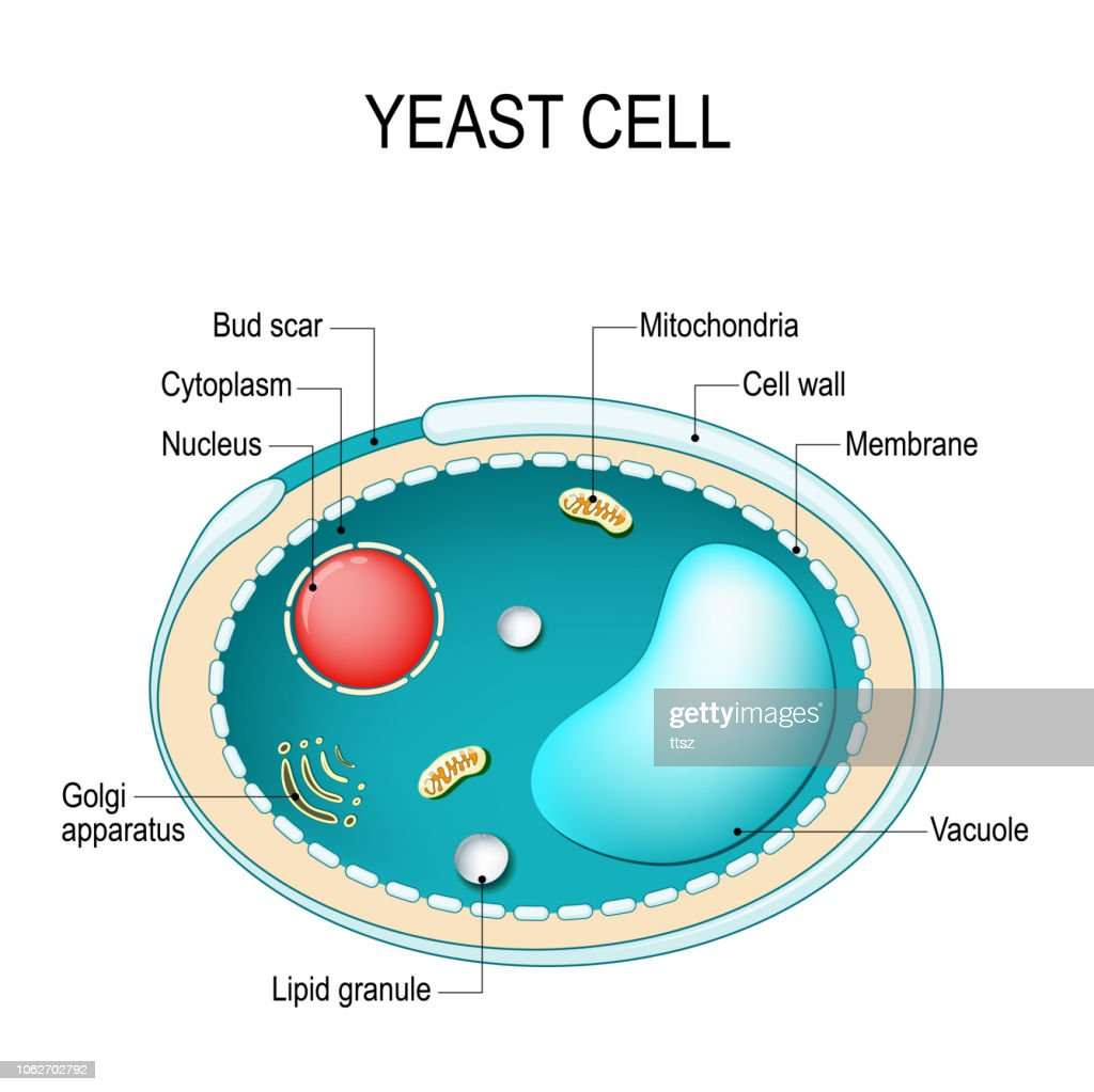 medium resolution of diagram of fungus wiring diagram paper labelled diagram of fungi cross section of a yeast cell