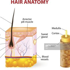 Skin Cross Section Diagram 95 Dodge Ram 1500 Wiring Of A Hair Follicle In Layers Vector