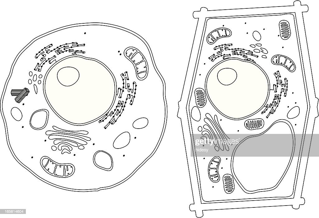 3d animal cell coloring diagram swim lane visio example of plant and cells vector art | getty images