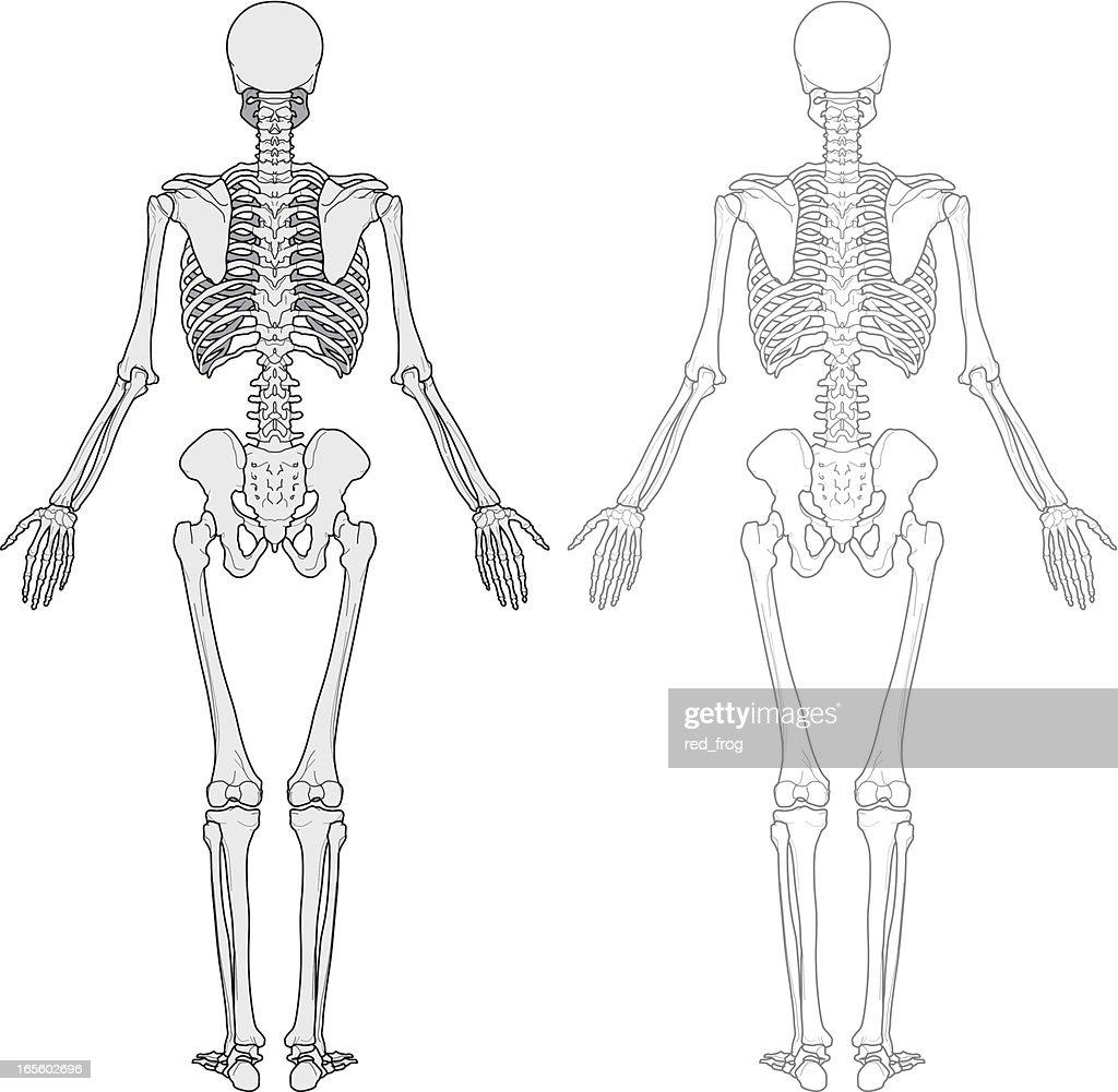 hight resolution of human body skeleton