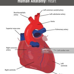 Slug Anatomy Diagram 2003 Honda Crv Starter Wiring Human Heart Detailed Vector Medical Art Thinkstock