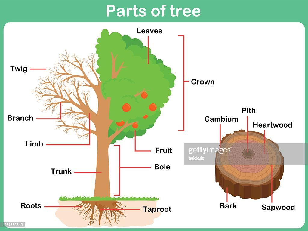 hight resolution of diagram of tree trunk wiring diagram schematiccrown tree trunk diagram wiring library diagram a4 label parts