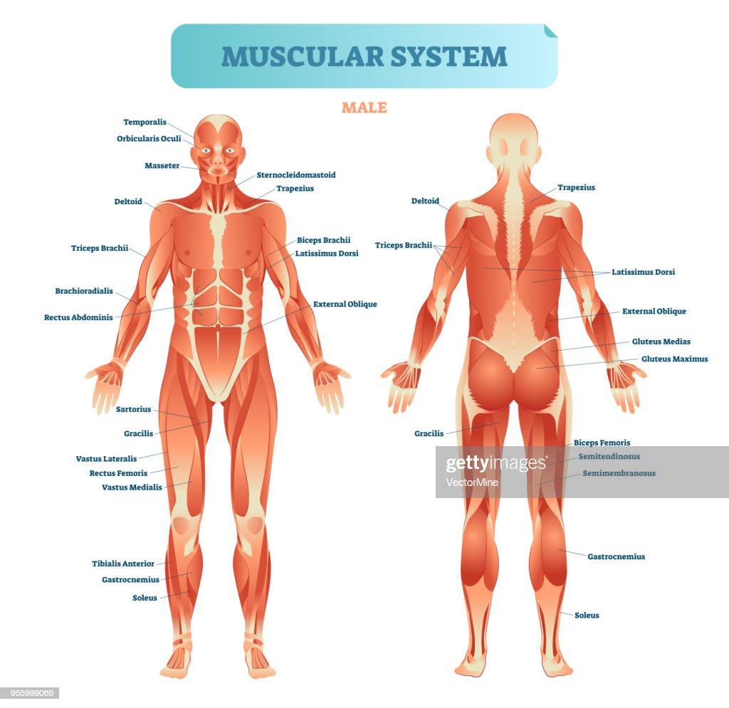 medium resolution of common body diagram unlabeled wiring diagram m6 full body diagram simple wirings common body diagram unlabeled
