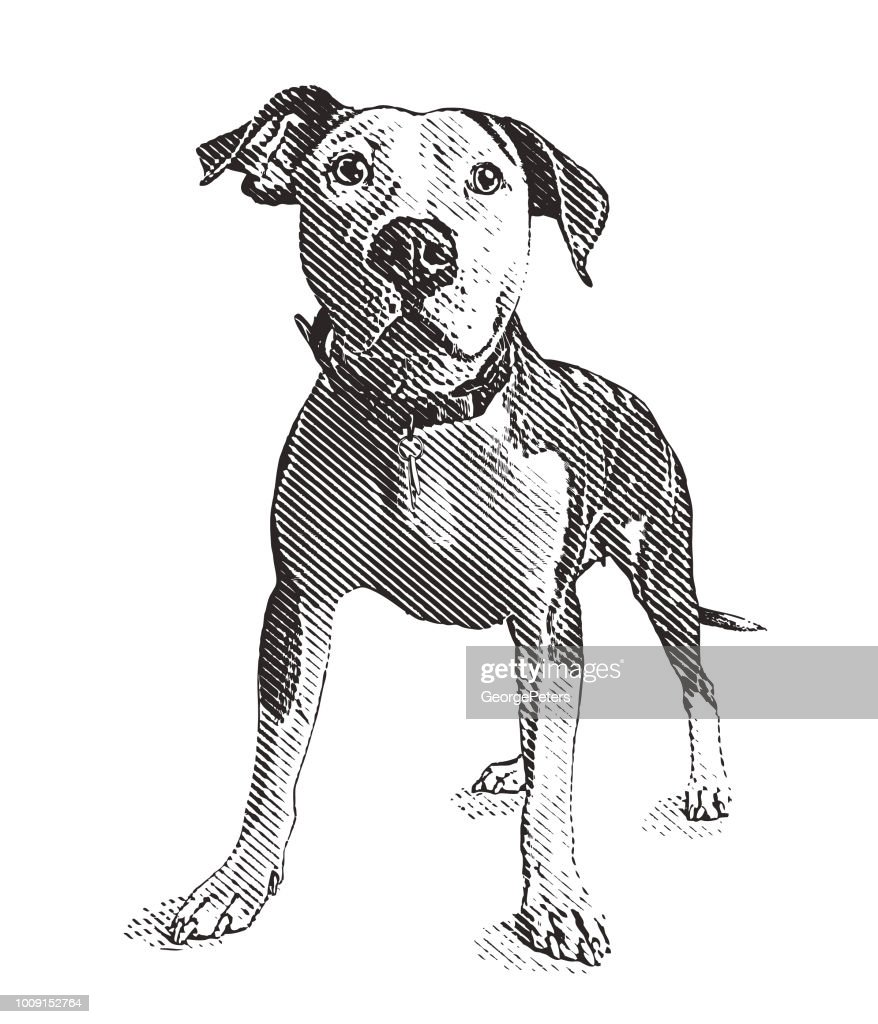 Pit Bull Terrier Dog In Animal Shelter Hoping To Be
