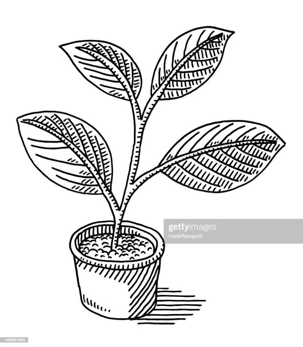 Pot Plant Leaves Drawing Vector Art Getty