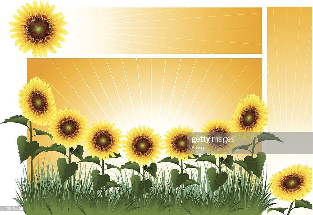 top sunflower banner stock illustrations