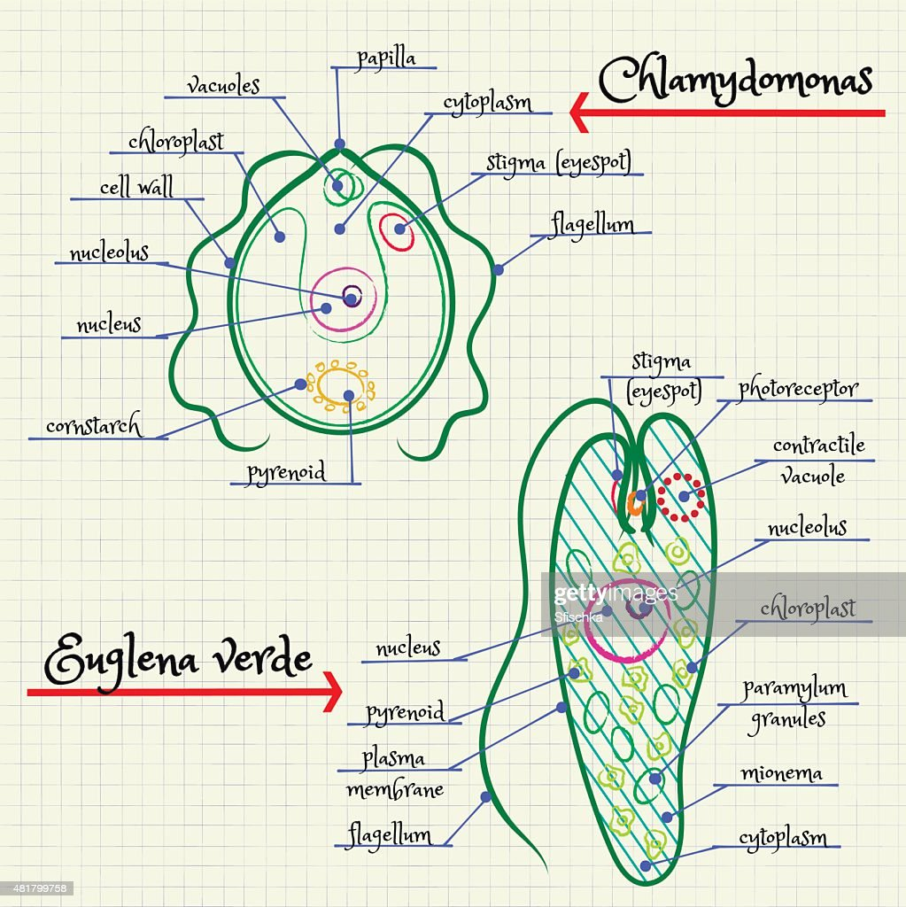 hight resolution of the structure of chlamydomonas and euglena stock vector thinkstock diagram of euglena and chlamydomonas diagram of euglena and chlamydomonas