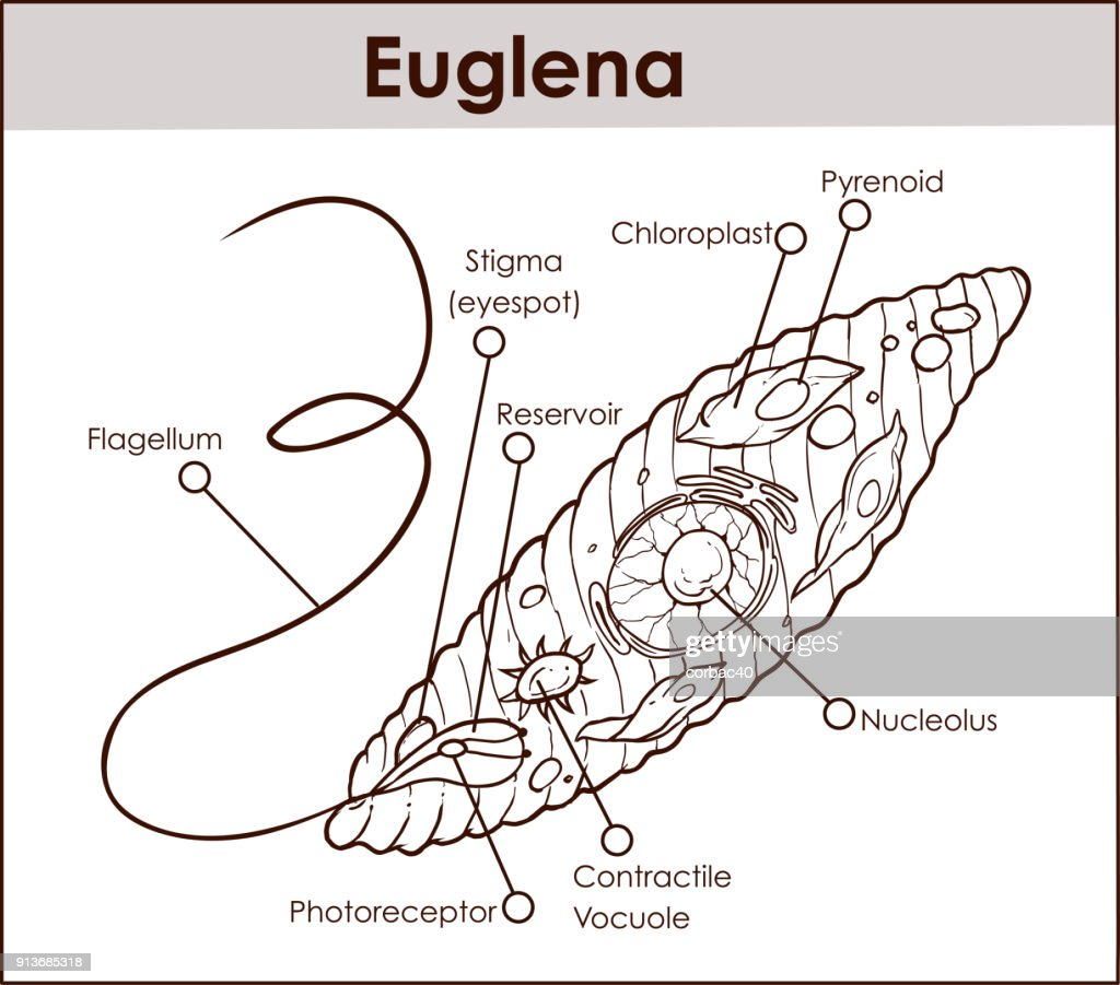 diagram euglena sp library wiring diagramdiagram euglena sp wiring diagram euglena sp 400x diagram euglena sp [ 1024 x 901 Pixel ]