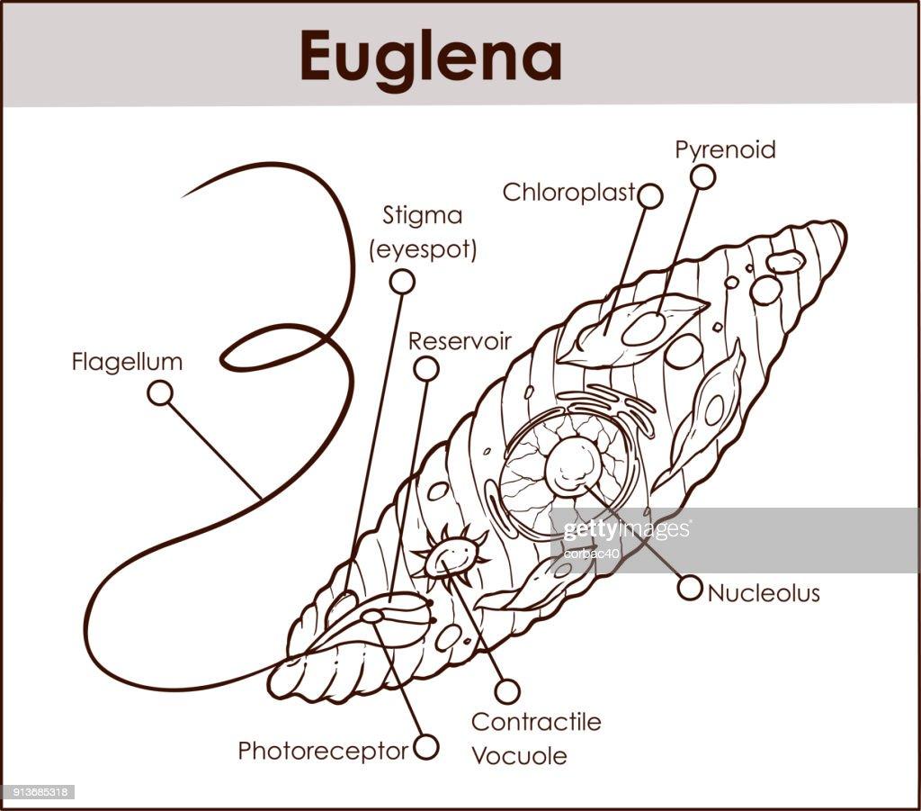 small resolution of diagram euglena sp library wiring diagramdiagram euglena sp wiring diagram euglena sp 400x diagram euglena sp