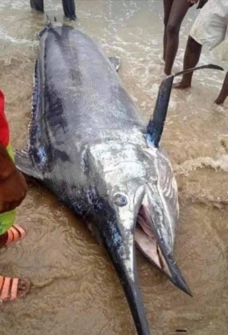 5B26C7B9 E5DF 4DAE AAC7 6F3EEC9A2A73 573x840 1 - Man Caught A Blue Marlin Fish Worth $2.6 Million, Ate It With His Village People.