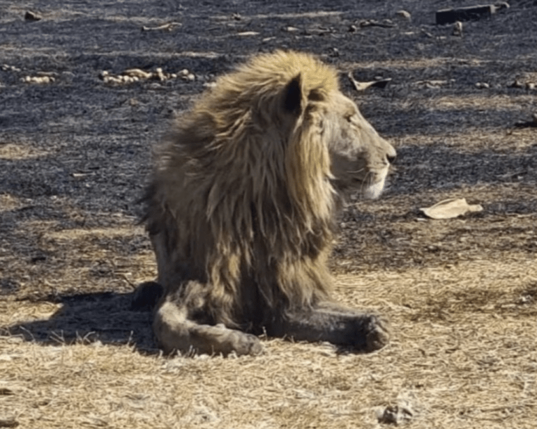 Emaciated Lions At Breeding Farm Eat Each Other In South Africa(Photos)