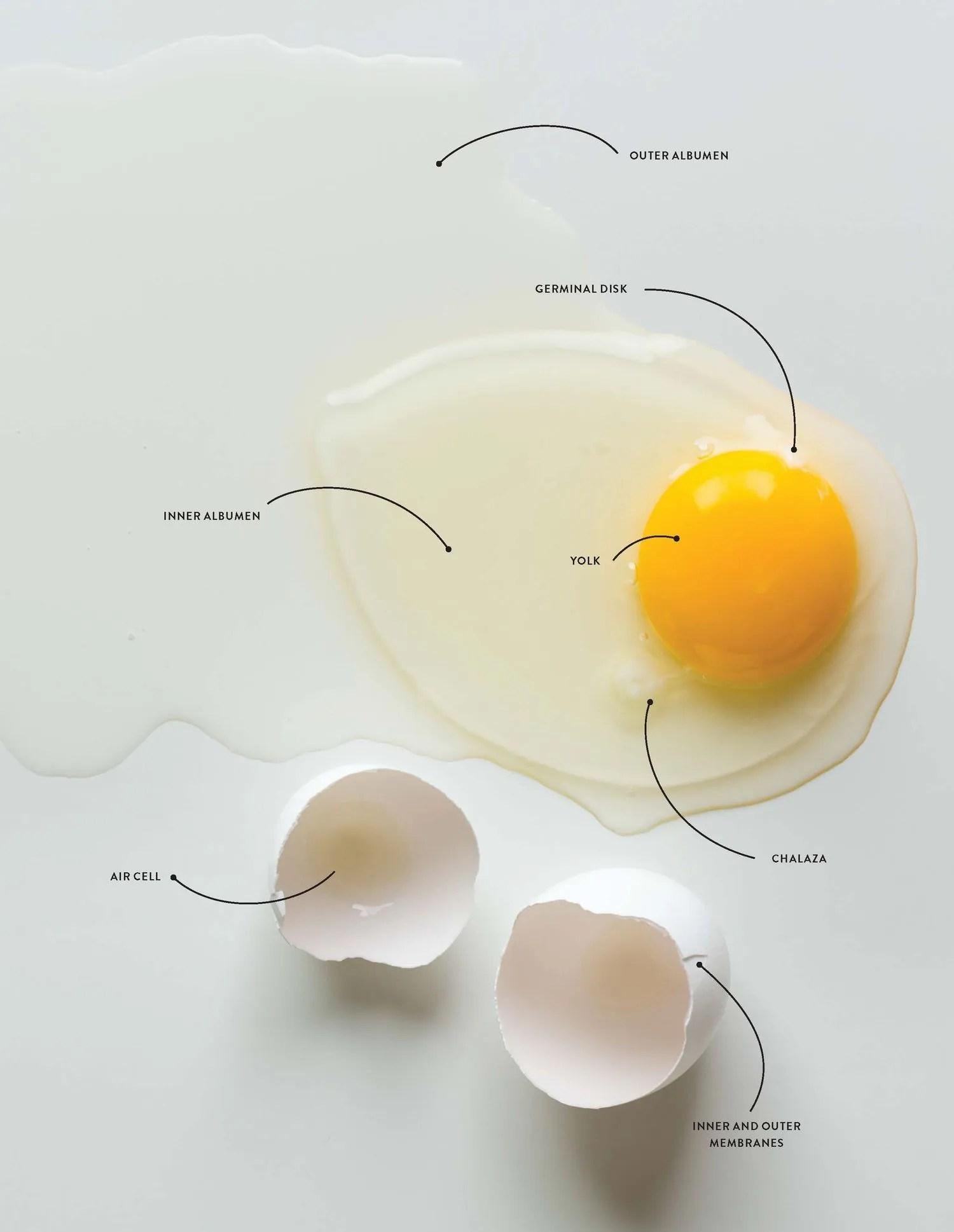 Egg Anatomy 101 Shell White And Yolk