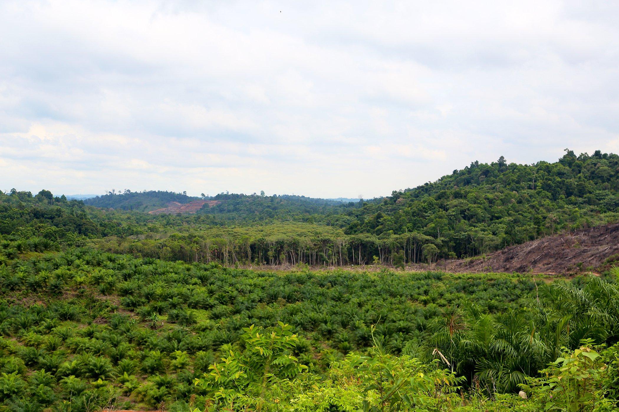 Palm oil-Explainer-Environmental-Impact.jpg
