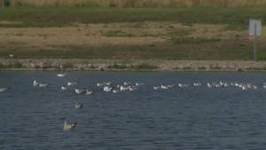 Provincial vet office testing dead pelicans found near pond in Winnipeg